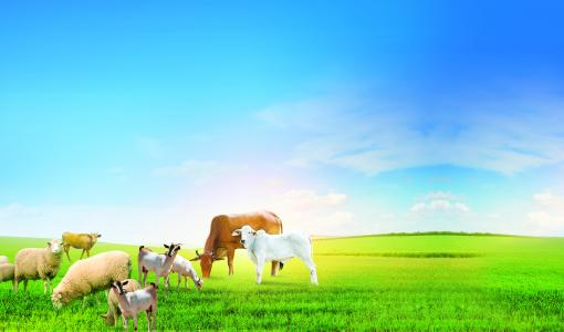 شركة البشائر للحوم تعلن عن تلقي طلبات حجز الحيوانات الحية